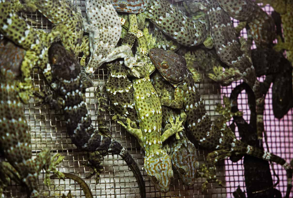Tokay geckos being sold for use in traditional Chinese medicine in Hong Kong