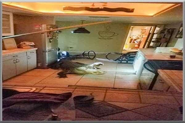 Alligator gator crashes busts bursts through kitchen window in Clearwater Florida breaks wine bottles