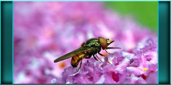 a fly insect