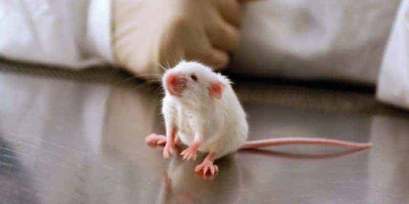 rat mouse science experiments